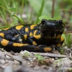 Regrowing Human Limbs, Scientists Think Salamanders Hold The Key