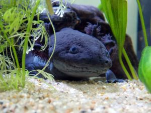 axolotl limb regeneration