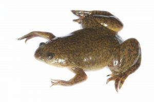 human limb regeneration african clawed frog