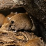 human regeneration possible with the spiny mouse
